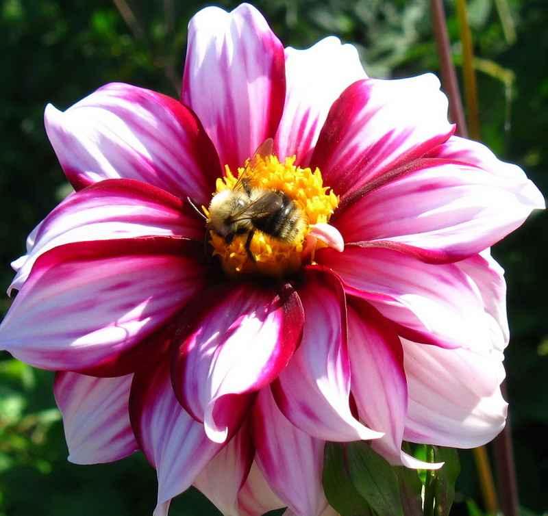 О цветах всё и всем Георгина однолетняя выращивание из семян
