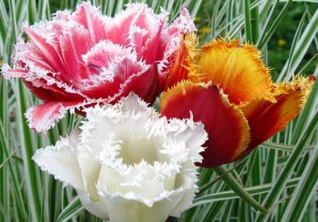 Луковицы цветов почтой